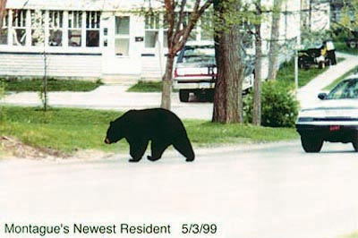 Black Bear in Montague